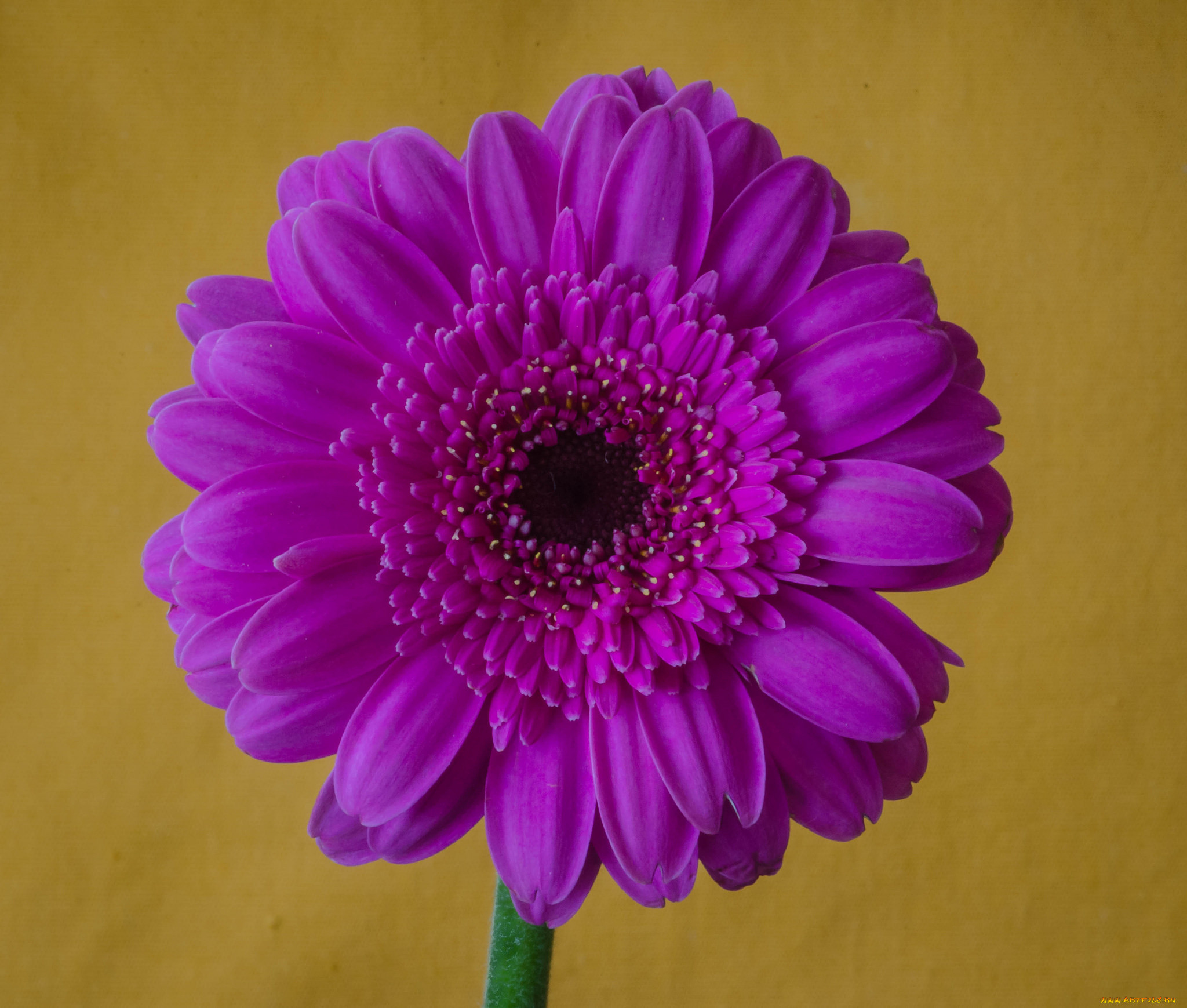 картинки фиолетовые герберы отсутствует эффективное лечение